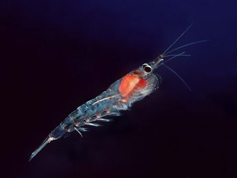Krill Oil Versus Omega 3 Fish Oil